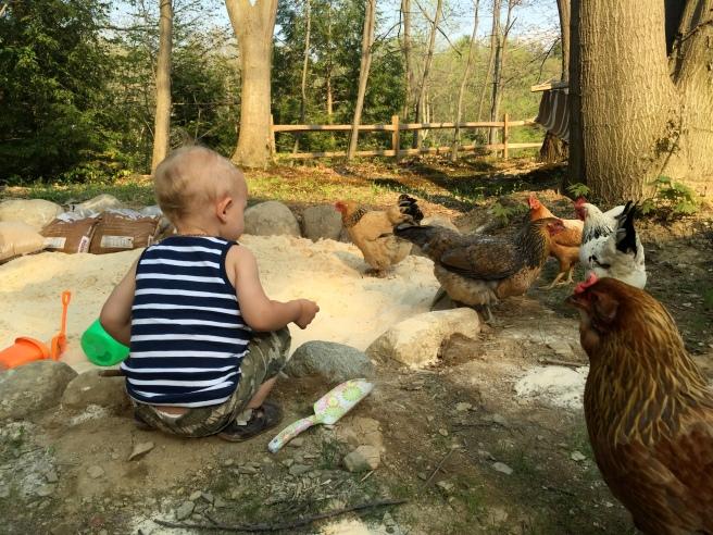Chickens in Sandpit
